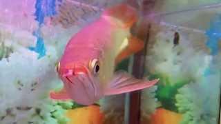 arwana super red dan golden red