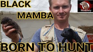 Episode 5- Hunting Success at Last!   Black Mamba: Born to Hunt