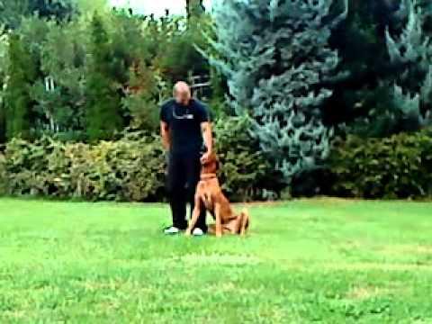 Εκπαιδευση σκυλων - Υπακοη Rhodesian Ridgeback - k9training.gr