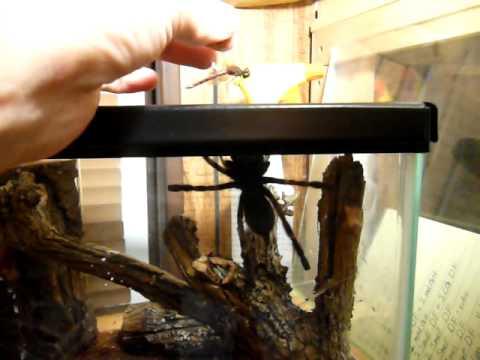 Ghost Ornamental Tarantula Ghost Ornamental Tarantula