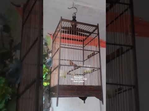 Download Ajib Pelanduk Semak Gacor Dalam Sangkar Video dan Lagu MP3 ... a2b4ce6100
