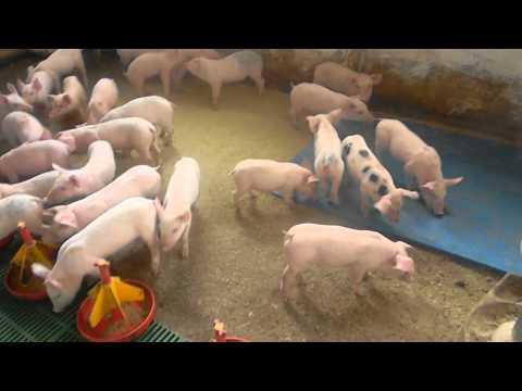 In vizita la o ferma de porci de langa Tasnad