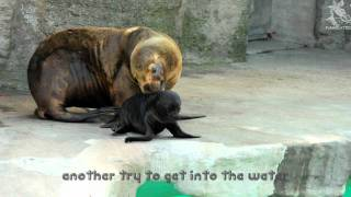 Sealion Puppy not allowed to swim yet - Mommy gets angry!