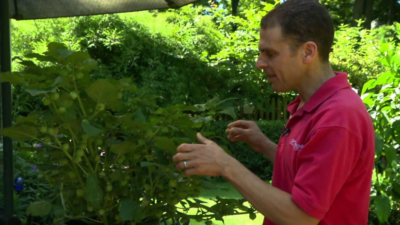 Wild Tomatillo Plant Tomatillo Plant Grow a Staple