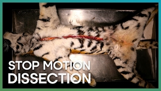 Tiger Dissection Stop Motion - Earth Unplugged