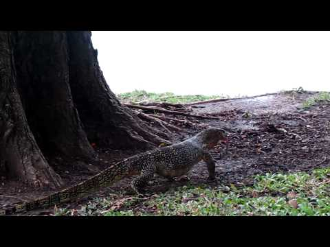 Water monitor lizards of Lumpini Park, Bangkok, part 2