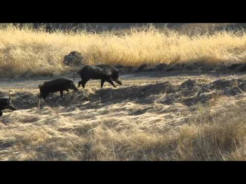 Wild Hog Hunting in California (Headshot)
