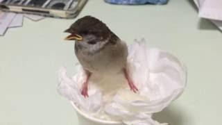 可愛い動物 台風の夜にスズメを拾って監禁してみた 貴重映像有り