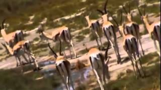 Hienas vs Leones   Documental de Leones National Geographic