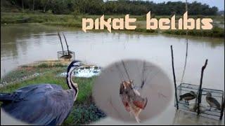 Cara Menangkap Burung Belibis dengan Jaring Memakai Pemikat Pada Malam Hari
