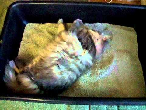 old Maine Coon/Tabby Mix