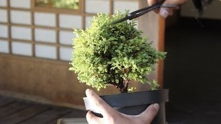 How to make a Bonsai tree, from a starter kit