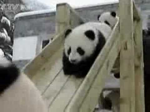 PANDA BABIES Video