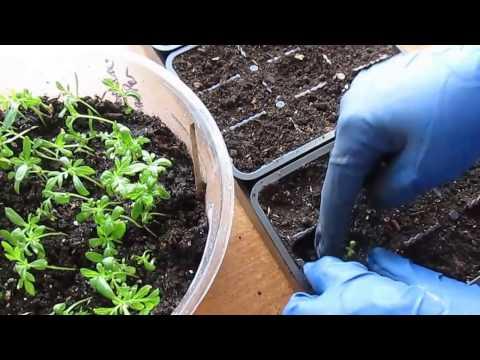 Когда высаживать на рассаду семена бархатцев 7