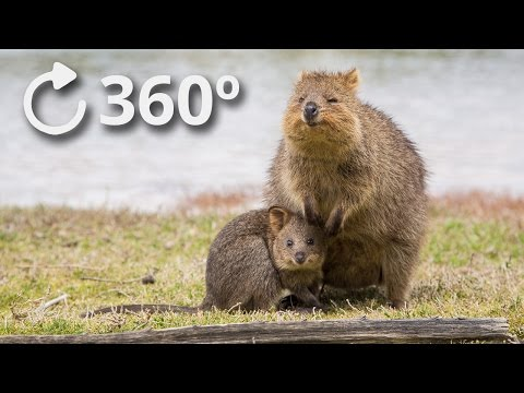 360o Quokkas - The Happiest Animal in the World - 4K
