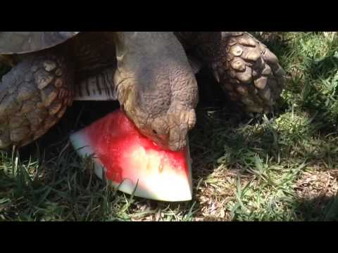Even our tortoise loves watermelon on the 4th of July!