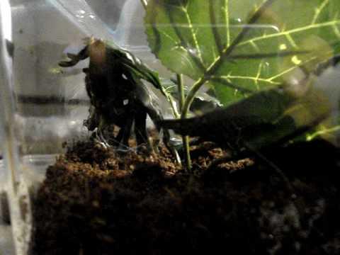 Haplopelma Vonwirthi Tarantula Haplopelma Vonwirthi Gbb