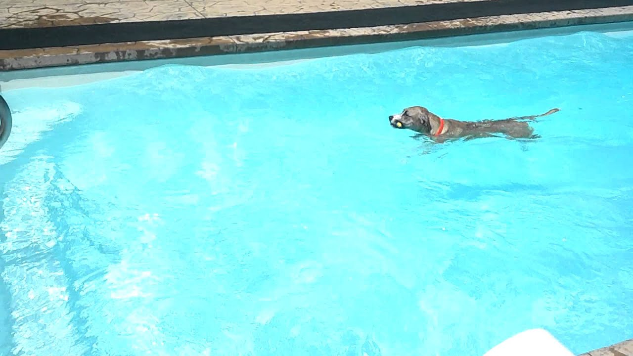 Dog swimming diving into the pool to retrieve a toy fish for Swimming pool fish