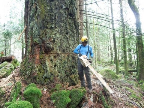 Cutting Down A Huge Fir Tree video