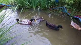 Ducks Playing In The Water
