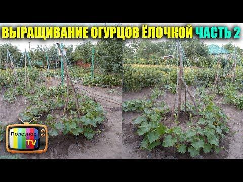 Выращивание огурцов дома к новому году