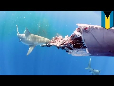 Amazing underwater video shows six sharks feeding on a dead whale