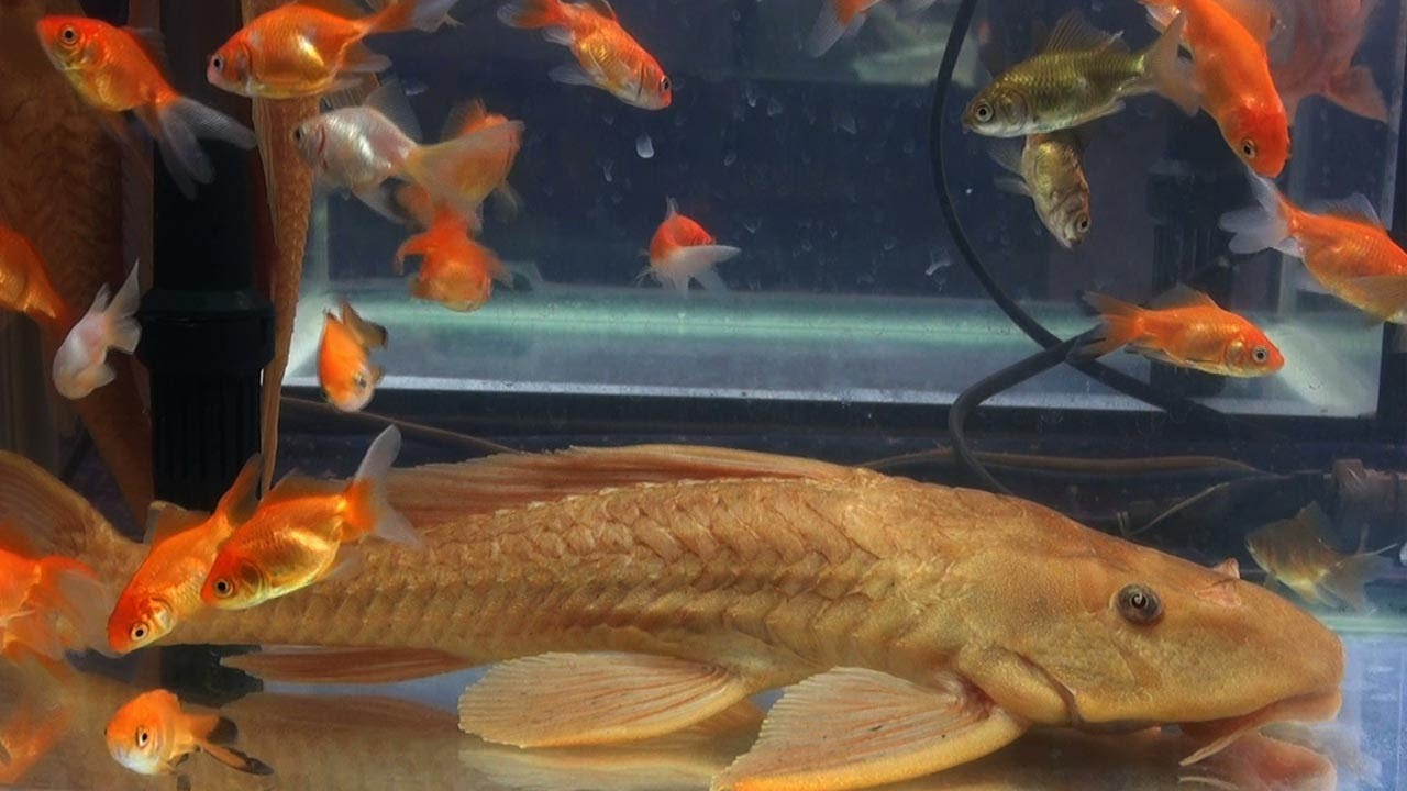 Common goldfish and golden sucker fish aquarium fish for Aquarium sucker fish