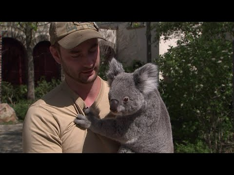 Spaziergang mit Koala Mandie