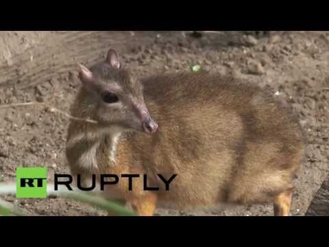 Hamster Size ▶ Spain Hamster-sized Deer