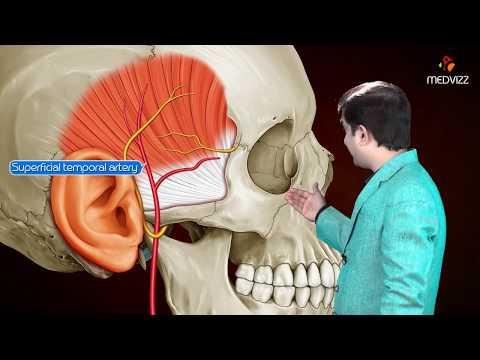 Gross anatomy head and neck