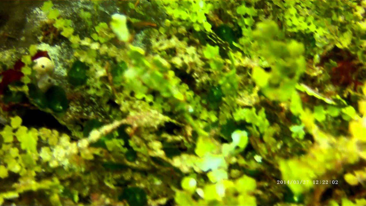 Halimeda Ghost Halimeda Ghost Pipe Fish
