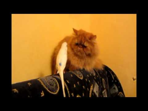 El periquito más cansino del mundo y un gato con mucha paciencia