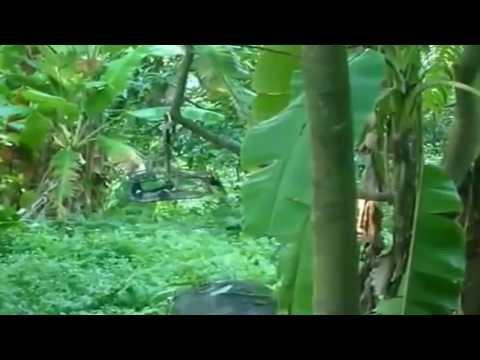 Kicau Mania - Cara Menjerat Burung Murai Batu Menggunakan Perangkap video