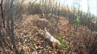 chasse becasse avec setter anglais