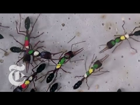 The Strange Way Indian Jumping Ants Reproduce | ScienceTake | The New York Times