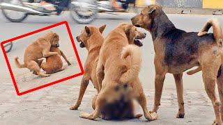 How To Breed dogs in Cambodia, कैसे प्रजनन कुत्तों को, ការបន្តពូជរបស់សត្វឆ្កែនៅកម្ពុជា