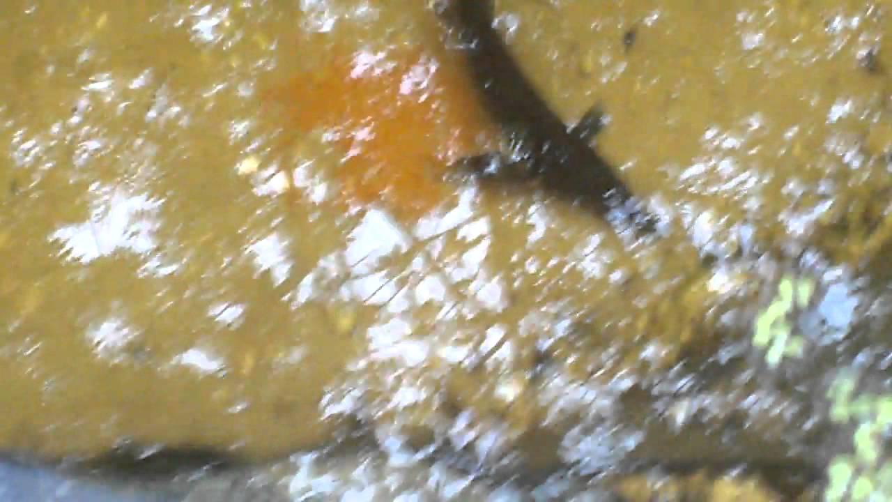 St re u a im teich f tterung youtube for Was fressen teichfische