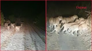 Lion pride being chased in Gujarat, video goes viral