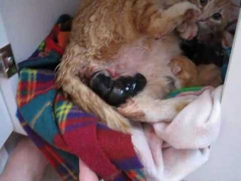 cat giving birth graphic   youtube