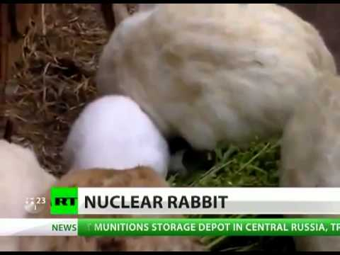 Fukushima mutant rabbit: Earless bunny born near radiation zone