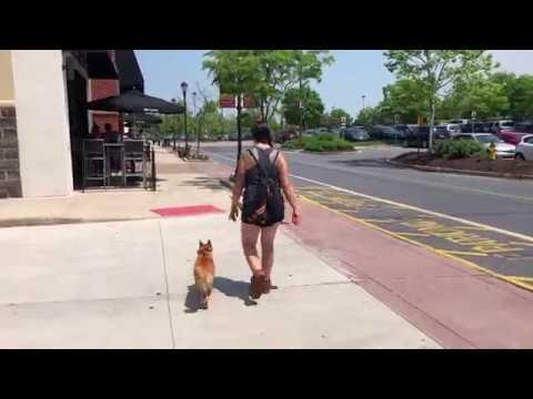 Scranton Dog Trainers     OLK9 Scranton     7 Month Old Shiba Inu, Emi