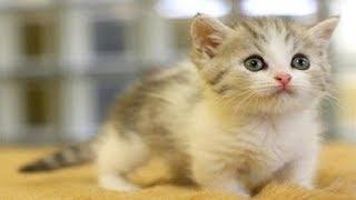 マンチカンの性格・毛色・値段【猫の種類猫種 画像】