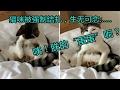 【亦資訊】貓咪被結紮:生無可戀