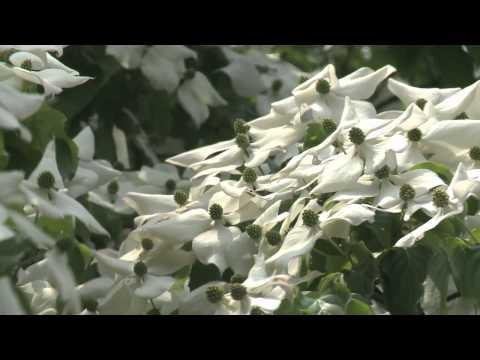 本巣市 「文殊の森」 ~ヤマボウシ~
