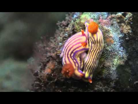 These nudibranches were seen around Amed and Tulamben this season. As you see there is wide variety 