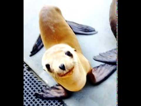 Un cachorro de león marino nada 160 kilómetros hasta un rancho en EE UU