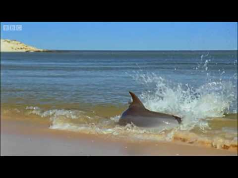 Hydroplaning Dolphins - Planet Earth - BBC Video
