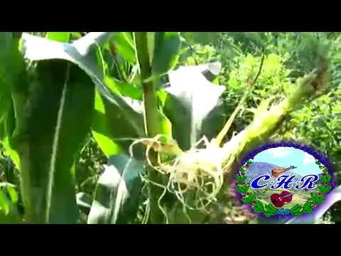 chanchona hermanos rivera granos del maiz