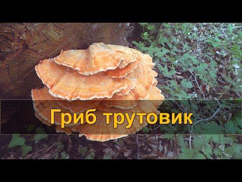 🍄 ДАРЫ ПРИРОДЫ: гриб трутовик. Трутовик серно-желтый