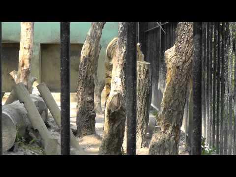 2011年5月26日 おびひろ動物園 アムールトラのタツオ2